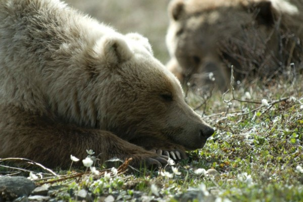 Grizzly-bears-in-Denali-National-Park-CR-NPS-1000x667