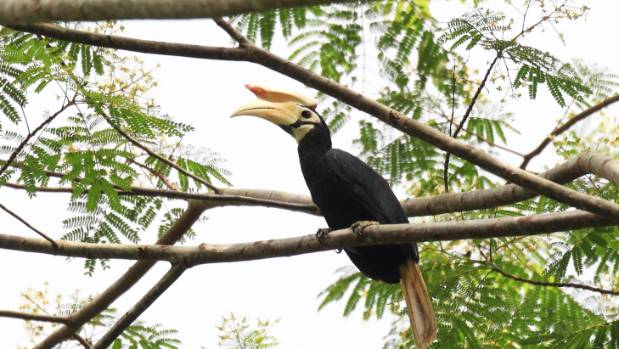 The Palawan Hornbill is one of the 100-plus bird species found on the islands.