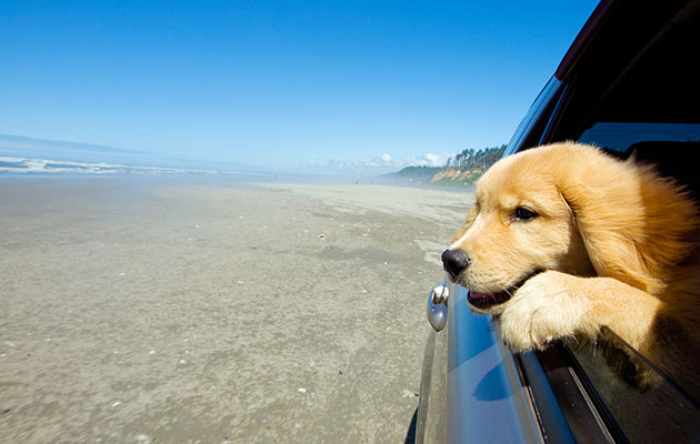 golden retriever puppy looking out car window