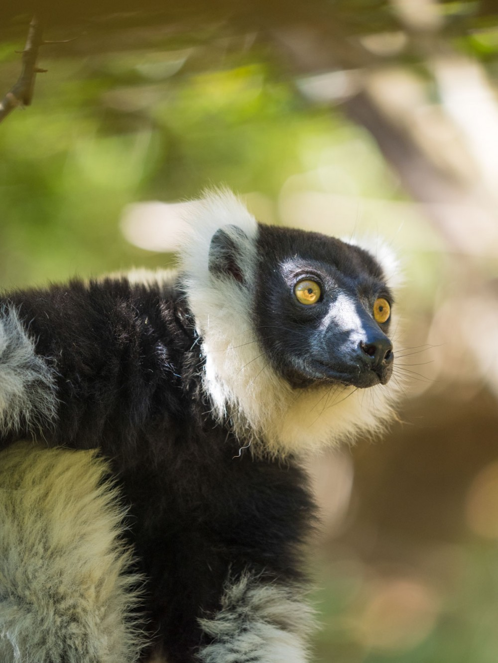 The Critically Endangered Black-and-white ruffed lemur