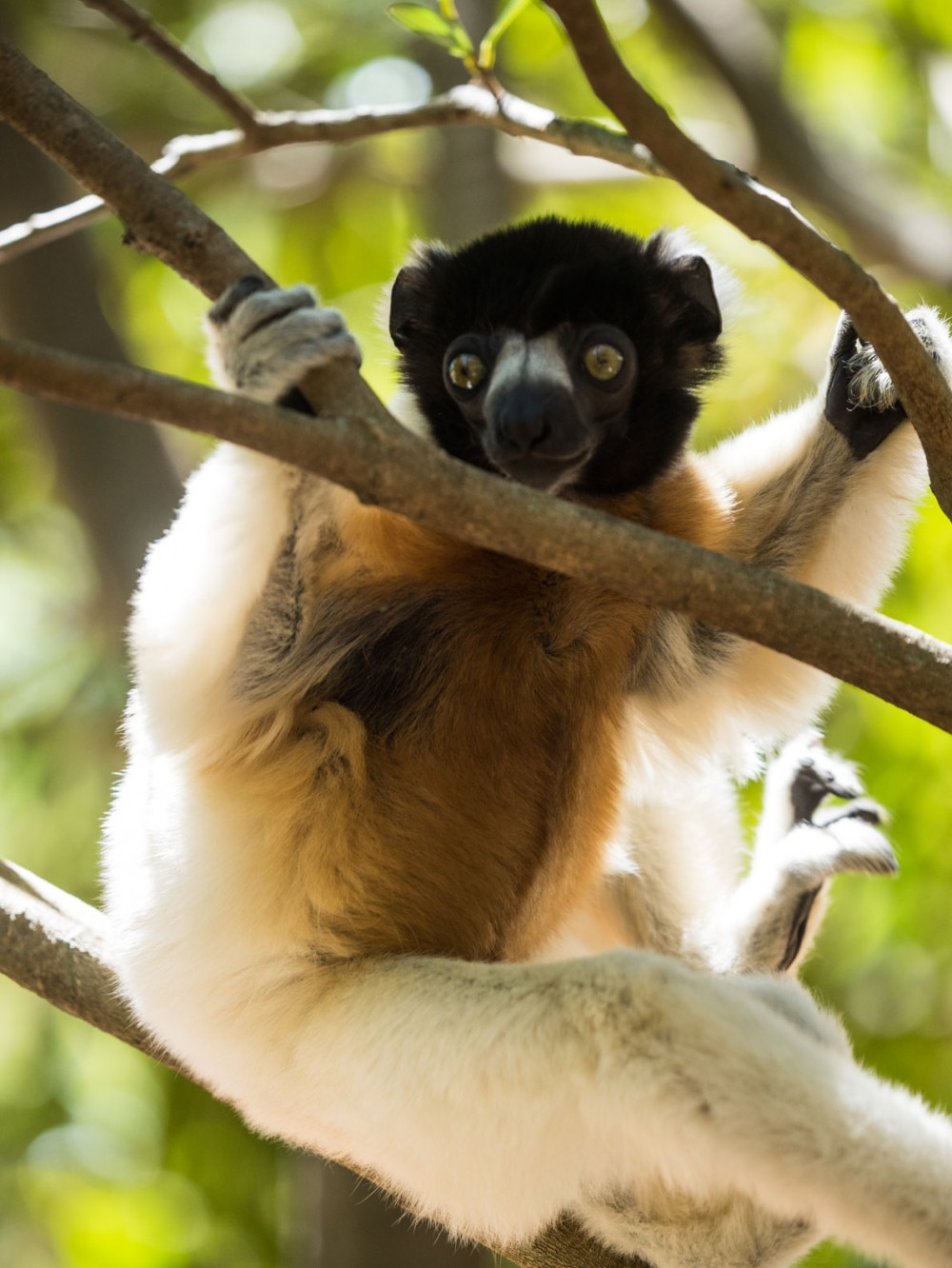 The Crowned Sifaka also native to the north western part of Madagascar. It´s considered Endangered