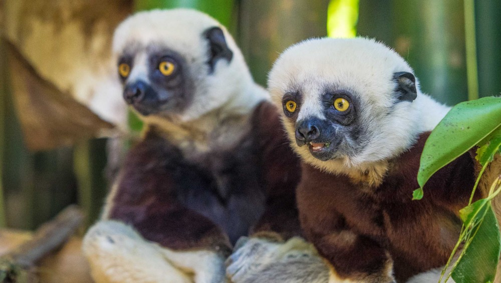 Two young Coquerel's Sifaka