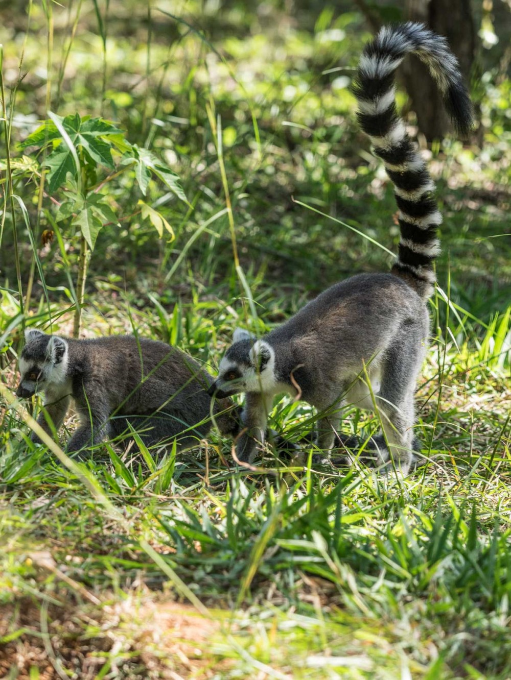 Probably the most famous of all Lemur species The Ring-tailed lemur