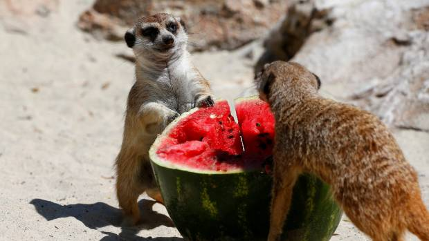 Meerkats eat a frozen watermelon on a hot summer day at the Bioparco zoo in Rome, Italy June 27, 2017.