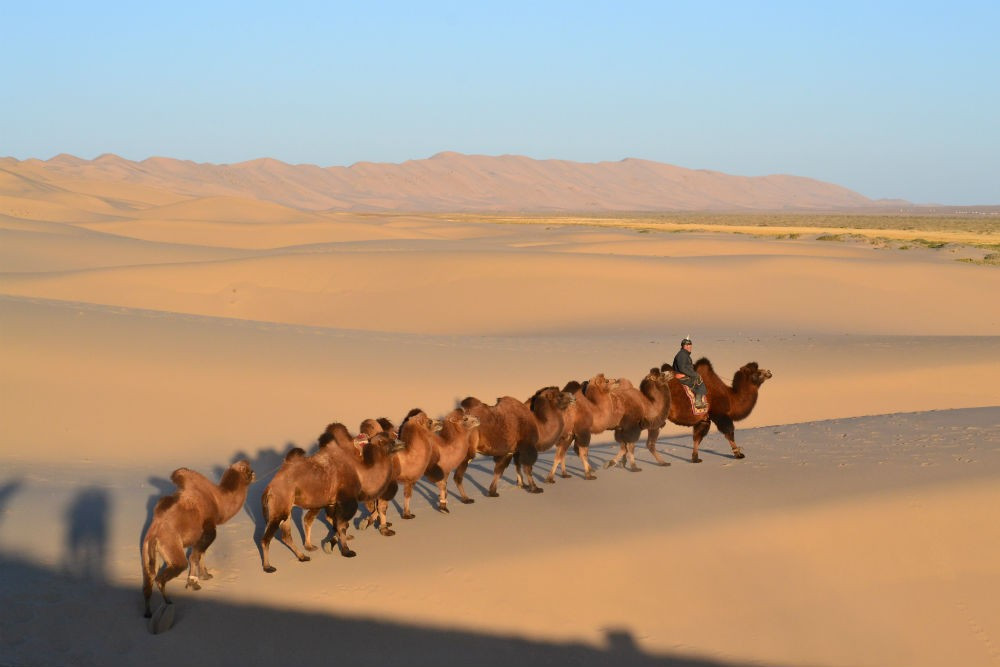 Bactrian camels in Mongolia. Photo: Nomadic Expeditions